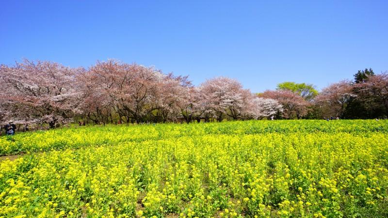 昭和記念公園 桜 アイキャッチ