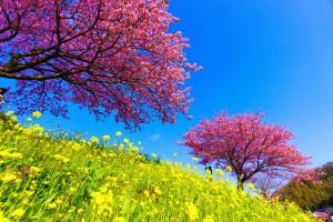 みなみの桜と菜の花まつり アイキャッチ