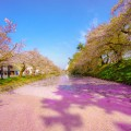 Hirosaki Park cherry blossoms featured image