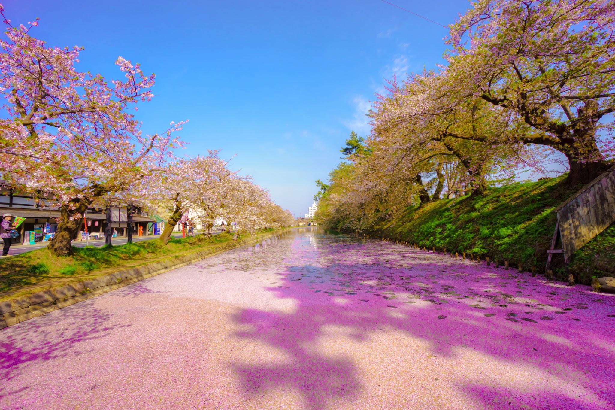 弘前公園 桜 アイキャッチ画像