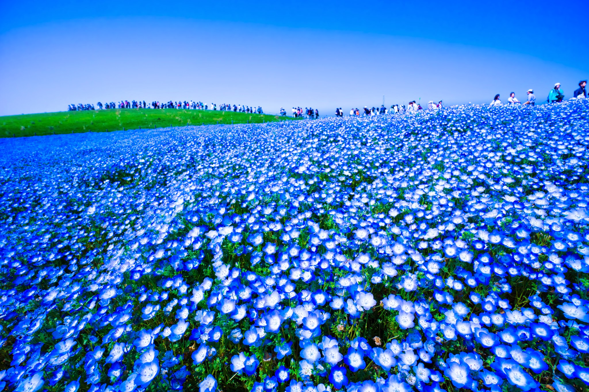 Hitachi Seaside Park Nemophila (baby blue eyes flowers) featured image