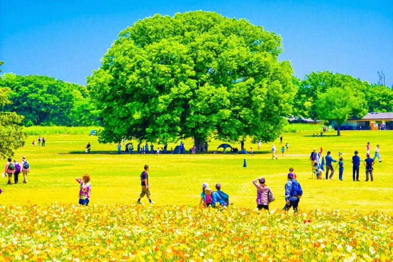 昭和記念公園 アイスランドポピー アイキャッチ画像