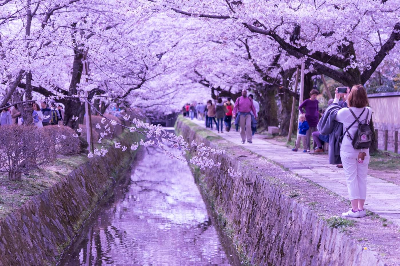 京都 桜 哲学の道 アイキャッチ画像