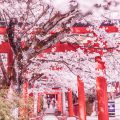 京都 桜 竹中稲荷社 アイキャッチ画像