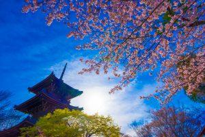 京都 桜 真如堂 アイキャッチ画像