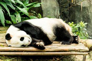 シンガポール リバーサファリ パンダ アイキャッチ画像